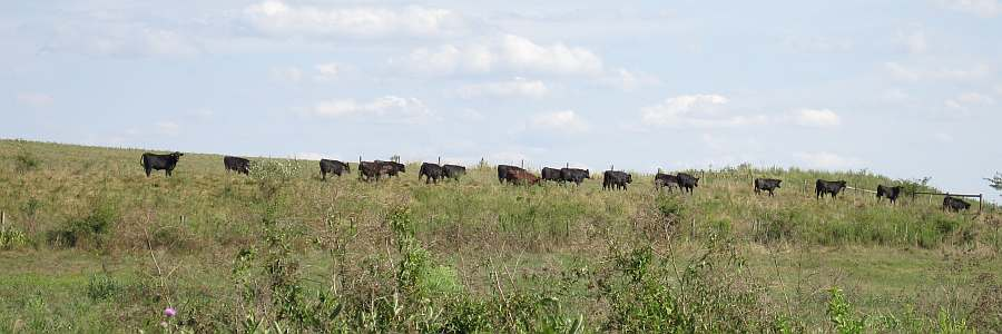 Cattle on parade.