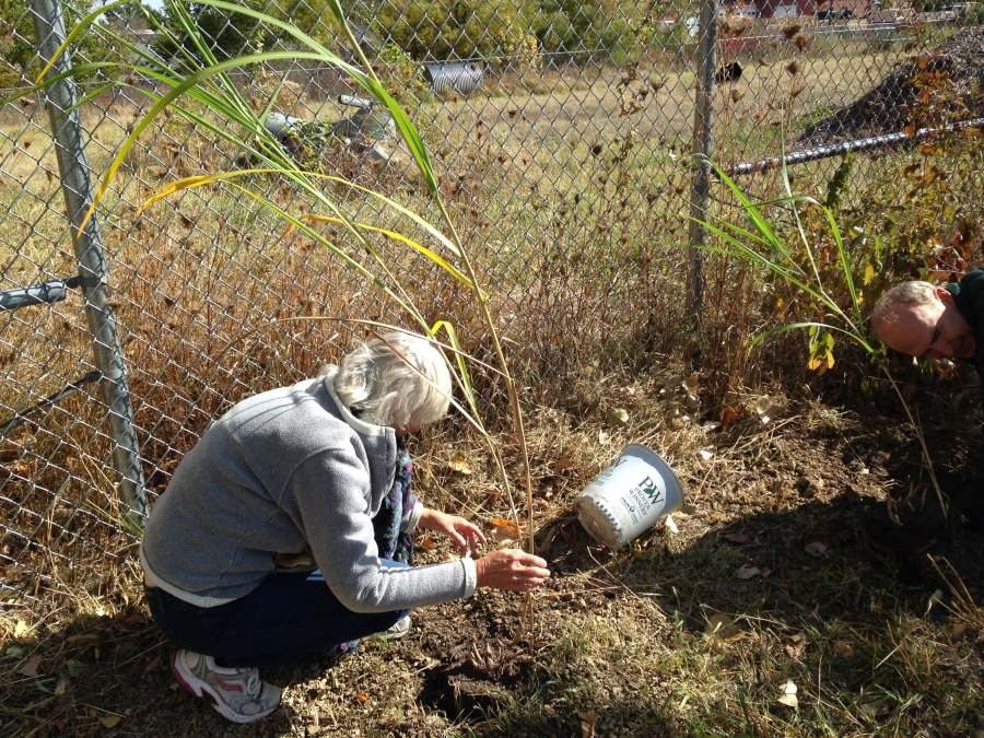 Planting tall grasses